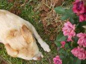 a cã, a mosca e a rosa