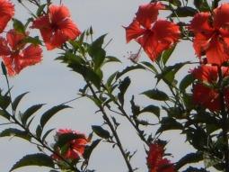 os hibiscos