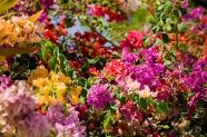 bougainvillea-flowers