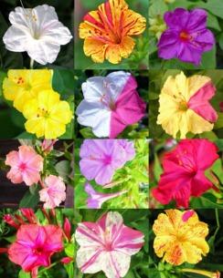 30-sementes-flor-maravilha-mirabilis-jalapa-sortidas-D_NQ_NP_976218-MLB28788602707_112018-F